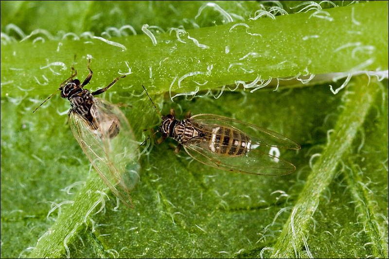 Potato Psyllid Adults